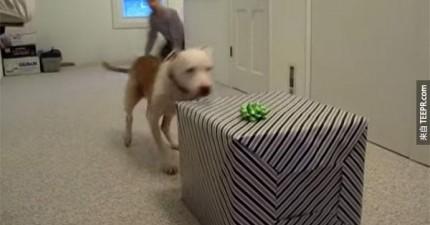 這隻戰勝癌症的比特犬收到了網友準備的大驚喜。他開箱時的快樂讓我笑得合不攏嘴!
