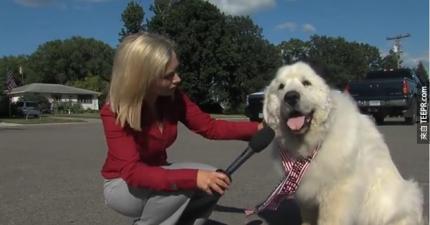 這個7歲的狗狗高票當選成為美國小鎮的新鎮長。嗯,你沒有聽錯。