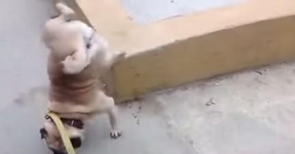 這隻狗狗佔地盤的方式讓很多人都快受不了了。