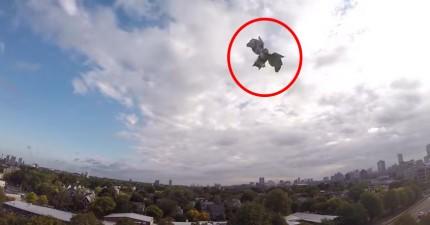 看看這台無人機是如何被一隻在保護地盤的老鷹擊落。