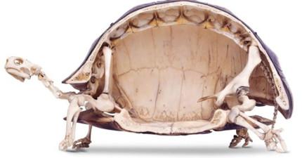這就是烏龜內部結構的照片,絕對跟你想的不一樣。那烏龜沒有殼是什麼模樣?