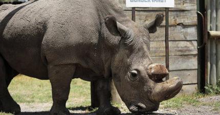 後代子孫可能「只剩標本可以看」,最後1隻北非白犀牛送安樂死「動保人員崩潰」:愛他所以讓他走....