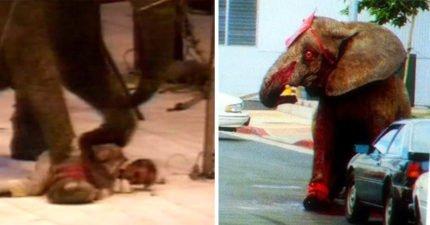 大象受虐21年「發狠踩死訓獸師」,最後被人類「狂射100槍」舉右腳投降瞪著恐懼血輪眼死亡!