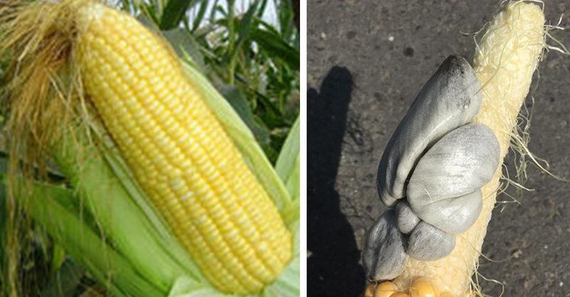 他買「巨大玉米」剝開驚見「灰白色貝殼」噁到爆 網:那是松露!