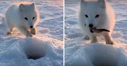 影/連戰鬥民族都沒輒!冰釣遇小白狐「挖冰求魚」 臭屁臉叼走:拿來就對了啦~