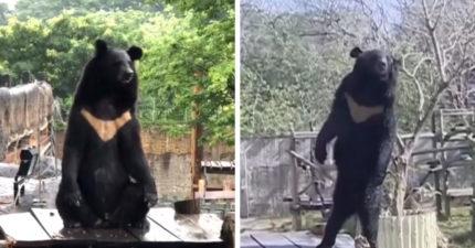台灣黑熊淡定盤腿打坐 遊客驚呆接著「2腳站起」:工讀生給我滾出來!