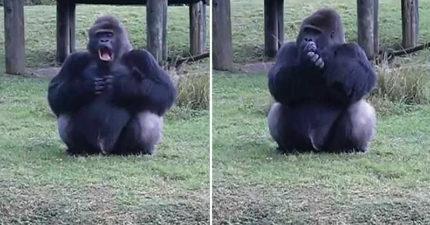 影/大猩猩比手語裝可憐「請勿餵我」 遊客好心疼閃過監視:這橘子快吃!
