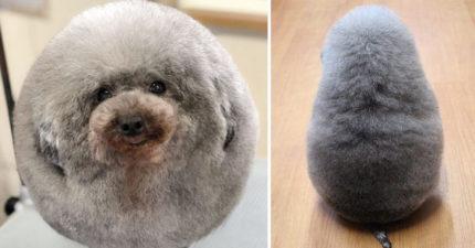 狗狗被帶去剪毛 回來竟變「一顆大毛球」配小短腿超萌♡
