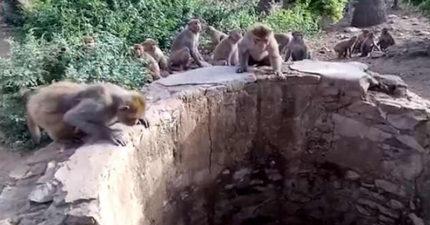 猴子群聚井口邊嘰嘰喳喳 遊客驚見「叢林王者」落魄困在井底!