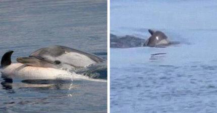 鯨媽媽不相信「寶寶已經沒有換氣」 沉下去又頂上來逼呼吸...專家:牠們還會伴屍