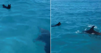 小黑汪當美人魚玩水 海豚寶寶開心伴舞:交個捧油吧~