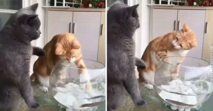 貪玩喵對魚動手動腳 好友看不下去「出拳教訓」:誰准你碰牠們!