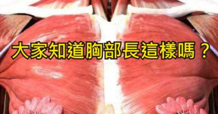 網瘋轉「女人上身的肌肉組織」照片 胸前「超驚人構造」震驚全網:從此對女神冷感...
