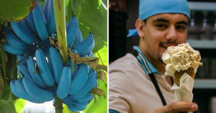 純天然藍蕉爆紅!網試吃發現有「香草」的味道 口感被讚:像哈根達斯