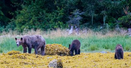 世界末日來了?皮包骨母熊「找不到魚吃」可憐徘徊 一家3口「飢餓冬眠」網超心疼!