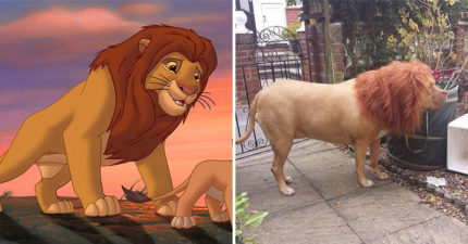 網捕捉野生《獅子王》辛巴!對比體型毛色「100%像」結果一轉身...居然是隻狗