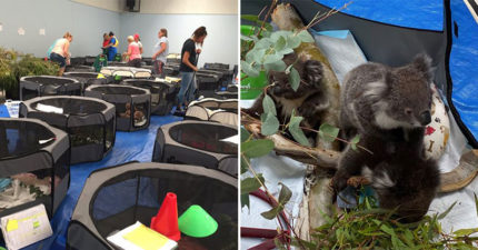 澳學校「開放體育館」當臨時收容所 打造「樹枝帳篷」讓無尾熊安心住!