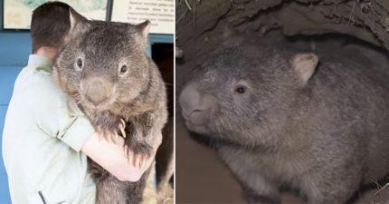 為了躲澳洲野火…袋熊「自挖避難所」拯救其他動物 網友讚爆:比政府有領導力