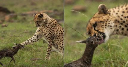 誤認天敵是媽!獵豹「被激發母愛」狂舔蹬羚寶寶 吻到一半「超大反差」悲劇了