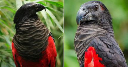 鳥界吸血鬼?超罕見紅羽毛「德古拉鸚鵡」 「酷炫黑披肩」外型太霸氣!