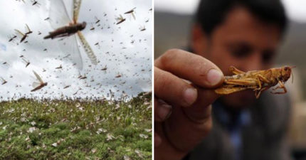武肺還沒解決...中國恐面臨「4千億蝗蟲來襲」 中農業部:防治技術完善!