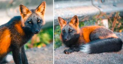 超稀有「黑臉狐狸」表情有夠高傲 猛一看「還以為是狼」仙氣逼人!