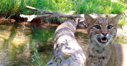 隱藏攝影機拍到「整座森林動物」共用獨木橋畫面 大熊帶小熊過河太可愛❤