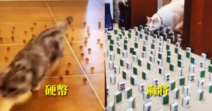 影/你家貓咪有沒有「強迫症」?用硬幣就能測試!
