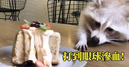 知名「浣熊咖啡店」爆毆死店寵 員工曝光「對話紀錄」老闆只好認了!