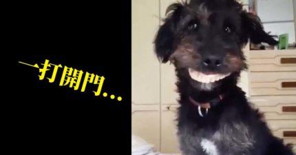 影/狗狗偷阿嬤假牙來戴!被抓包「一臉超得意」主人笑噴