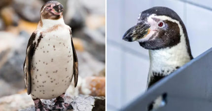 企鵝怪癖是發射「便便飛彈」力道超強「1公尺內」都有危險