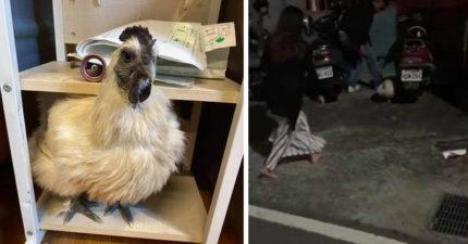 影/酒醒發現身旁「多隻雞」!朋友伯母超焦急:怎麼不見了?