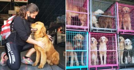 不會被吃了!20隻黃金逃出「中國狗肉屠宰場」 已全部運到美國