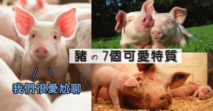 罵「你是豬」其實是稱讚!7個關於「豬」的可愛事實:牠是社交高手