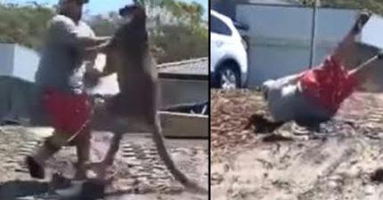 影/肌肉袋鼠跑進他家 為保護小孩「向牠丟石頭」爸爸悲劇了