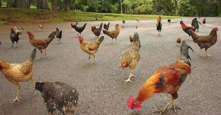 這個島「全被雞佔領」 但當地人吃過一次就「不敢再拿來料理」