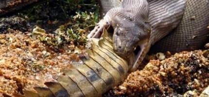 蟒蛇 vs 鱷魚...看完之後我再也不敢出門了。