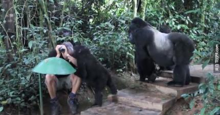 你如果有機會跟黑猩猩近距離接觸的話,記得要穿黑色的衣服。因為會發生很棒的事情。