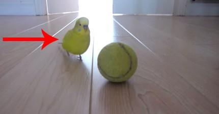鸚鵡可以在球上面平衡