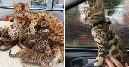 家裡「豹紋喵喵」越養越奇怪 帶去看獸醫才知:撿到寶