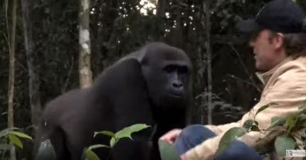 凱撒是真的!他5年沒見到他一手養大的猩猩兒子,再次相逢時兒子把孫子帶出來見爺爺!