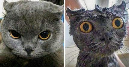 17個證明「寵物根本不該碰水」的爆笑實例 以為貓咪只是毛蓬...原來是真胖啊!