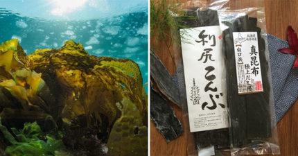 為何「昆布在海裡不會泡出高湯」?水族館神回「它在忍耐」:真的不是唬爛!