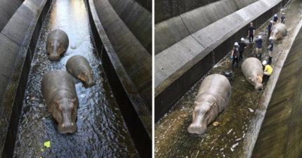日本澀谷河川驚現「3隻河馬」 民眾嚇壞:有人在捕捉牠們!