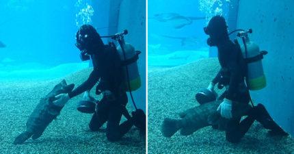 影/水族館石斑魚「向潛水員撒嬌討摸」畫面被瘋傳 專家揭「超可愛真相」網笑瘋:有陰謀