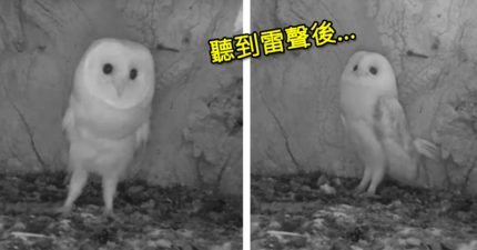 影/小貓頭鷹第一次聽到雷聲!父母不在身邊「牠嚇到快哭」 網心碎:想給牠抱抱
