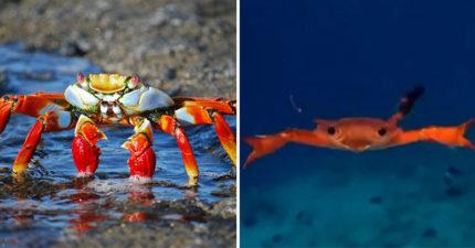 影/網友拍下「螃蟹游泳」的真實模樣 泳姿震驚網友:不是橫著游!