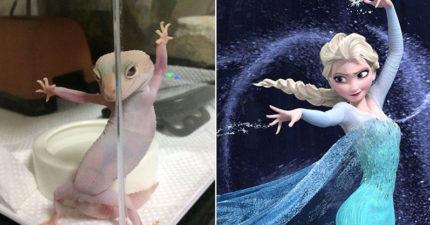 超萌守宮「妖豔動作」超眼熟 網友對比《冰雪奇緣》秒懂:艾莎女王駕到!