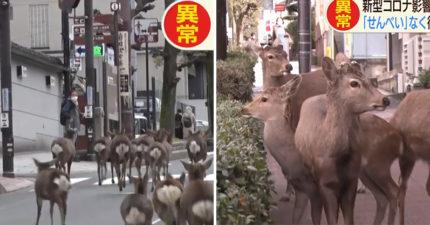 奈良鹿「爆衝到市區」吃光居民盆栽 「沒遊客餵食」餓瘋了
