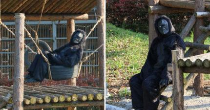 工讀生別裝了!動物園「假猩猩真人類」 遊客愣:我付錢你給我看這個?